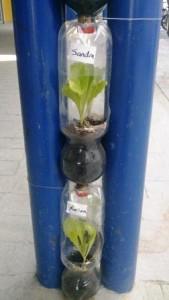 lettuce (2)